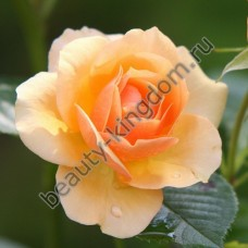 Ароматизатор Роза