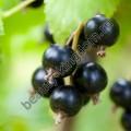 Краситель сухой Черная смородина (фиолетовый)