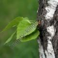 Экстракт Березы (сухой, лист)