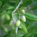 Olivem 1000 (оливем 1000, эмульгатор)