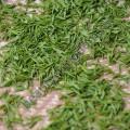 Экстракт Зеленого чая (сухой)