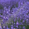 Сухоцвет Лаванды цветы