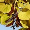 Сухоцвет Липы (липовый цвет)