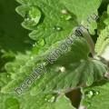 Сухоцвет Мята перечная (лист)